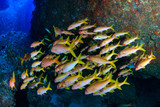 Colorful Snapper on a dark tropical coral reef