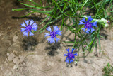 Blaue Kornblume, Centaurea cyanus