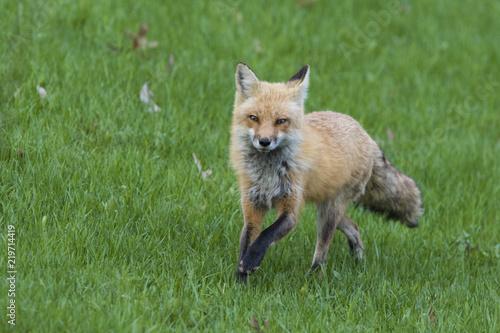 Fototapeta Female red fox hunting in spring