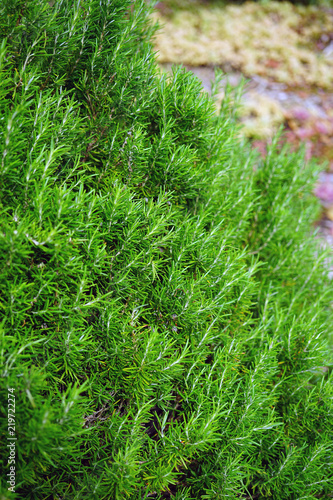 Fresh rosemary plant garden border - 219722274