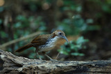 Large Scimitar Babbler on the branch in nature - 219729805
