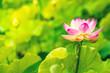 Leinwandbild Motiv Closeup lotus flower
