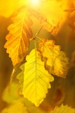 oak leaves yellow  in sunlight. natural autumn background