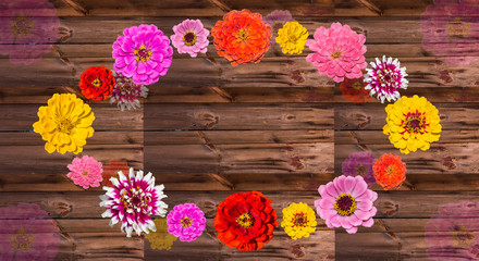 Colorful Zinia blossoms on wood.