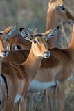 Impala on savanna in Africa - 219745802