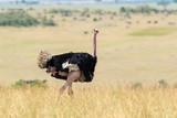 African ostrich (Struthio camelus) - 219745832