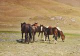 Grazing horses , Alay Valley - 219752405