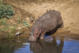 Hippopotamus in Kruger National park, South Africa ; Specie Hippopotamus amphibius family of Hippopotamidae - 219758208