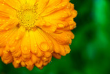 Yellow flower with wet petals on green background. - 219768618