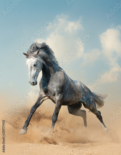 Fototapety, obrazy : Young gray stallion running on sand