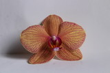 pink and yellow orchid