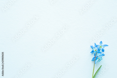 Fototapeta Blank greeting card. Fresh, beautiful blue snowdrop ( scilla ) on light pastel background. First messengers of spring. Empty place for inspirational, emotional, sentimental text, quote or sayings.
