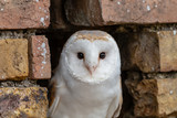 A cute little Barn Owl hiding in a hole in a brick wall - 219806433