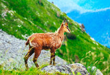 Wild alpine young goat portraiture, green mountain nature on the background. - 219806495