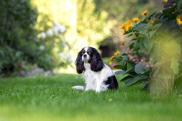 Cute dog sitting on the grass in the garden © AnnaFotyma