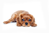 Portrait of cavalier spaniel puppy isolated