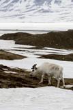 Renne du Spitzberg, Renne de Svalbard, Rangifer tarandus platyrhynchus, Spitzberg, Svalbard, Norvège - 219819404