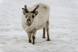 Renne du Spitzberg, Renne de Svalbard, Rangifer tarandus platyrhynchus, Spitzberg, Svalbard, Norvège - 219819420