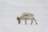 Renne du Spitzberg, Renne de Svalbard, Rangifer tarandus platyrhynchus, Spitzberg, Svalbard, Norvège - 219819442