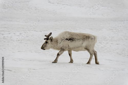 Foto Murales Renne du Spitzberg, Renne de Svalbard, Rangifer tarandus platyrhynchus, Spitzberg, Svalbard, Norvège
