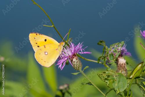 la farfalla prende il nettare del fiore