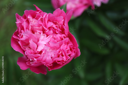 Pink bright paeonia Karl Rosenfield Herbaceous Peony flowering in summer garden