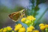 large skipper Ochlodes sylvanus butterfly pollinating - 219856418