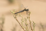 libélula - 219863073