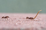 Leafcutter ants carrying plant material - 219867494