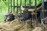 西表島の水牛