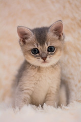 kitten cat scottish straight, lop-eared fluffy, animal © Дария