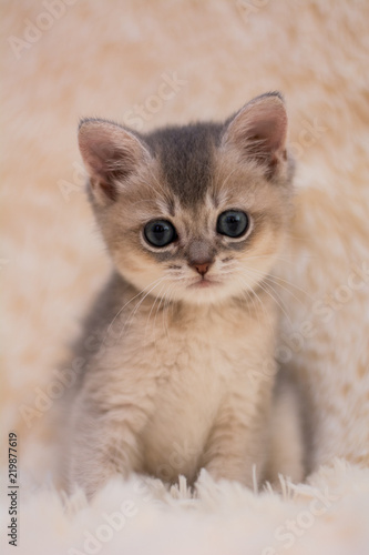 Fototapeta kitten cat scottish straight, lop-eared fluffy, animal
