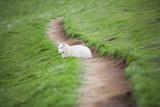 Lamb lying down on path - 219901012