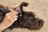 cleanup the ear of dog with cotton swab