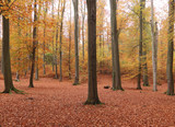 Beech forest in autumn - 219904463