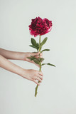 Fresh violet peony flower in woman's hands on white background, selective focus - 219905857