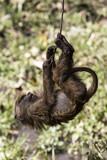 Scimmia - 219906087