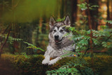 The dog walks in the forest like a wolf