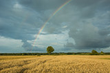 One tree in the field and rainbow in a cloudy sky - 219929254