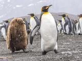 Juvenile King Penguin follows parent - 219931475