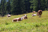 cows grazing in the meadow - 219935056