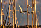 Seagull flies over the harbor at sunset among the sailing masts - 219946222