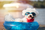 small dog, a curly bison with sunglasses on the beach