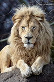 Male White Lion Looking at you while Lying on a Rock - 219971632