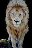 Male White Lion Looking at you - 219971812