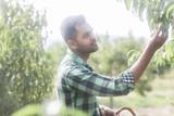 Junger Mann erntet im Obstgarten - 219972220