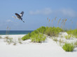 Great Blue Heron Flies Over White Sand Florida Beach