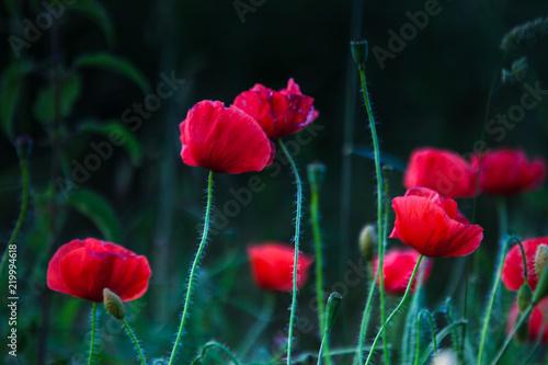 poppy - 219994618
