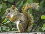 Red squirrel in the woods, eating birdseed - 220003857