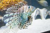 feuerfisch, rotfeuerfisch, teufelsfisch